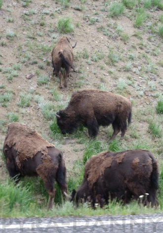 Bison by Lamar Valley Road