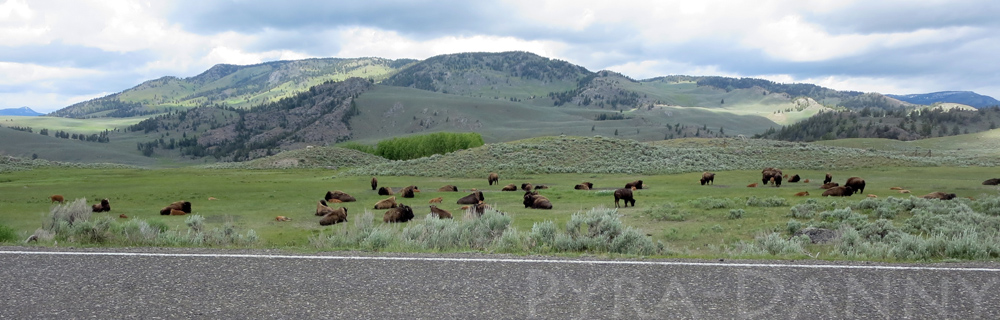 Bison relaxing in Lamar Valley