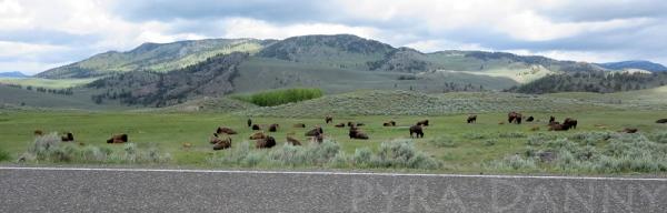 Bison relaxing in Lamar Valley