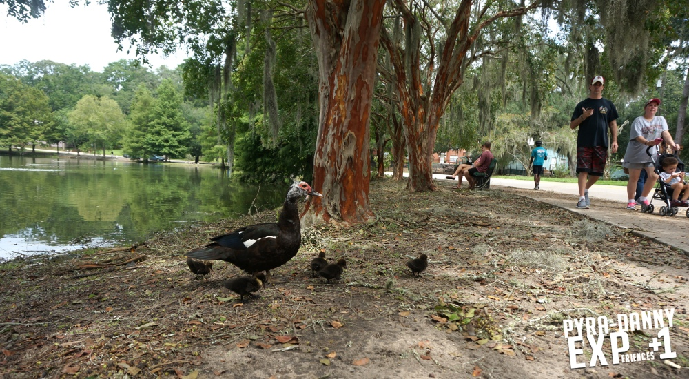 Many ducks around Lake Ella [The Tallahassee Outdoors | PyraDannyExperiences.com]